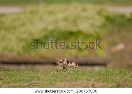 A little goslings walking alone through a meadow - stock photo