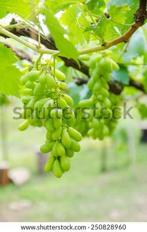 a little green grape in the vineyard. - stock photo