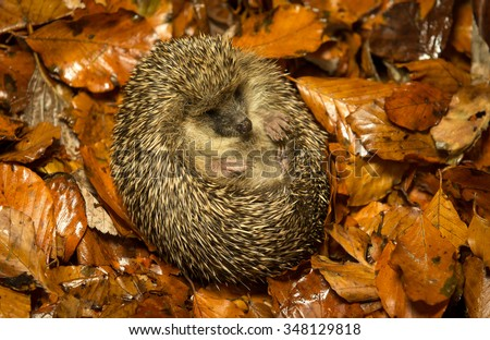 A little hedgehog curled up in some golden autumn leaves - stock photo