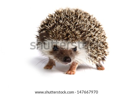 A little hedgehog stand on white background.