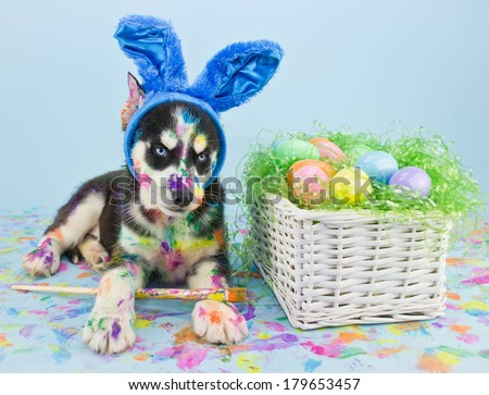 A little Husky puppy that looks like he just painted some Easter eggs wearing Bunny ears.