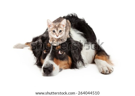 A little kitten sitting on the head of a large Shepherd mixed breed dog that is rolling his eyes up with an annoyed expression - stock photo
