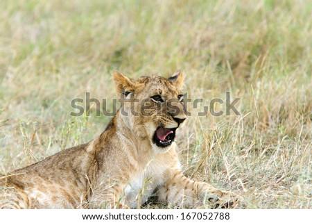 A little lion club grumbling - stock photo