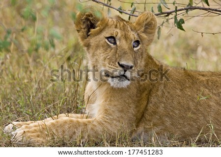 A little older lion cub laying in the bush in the Maasai Mara Kenya.