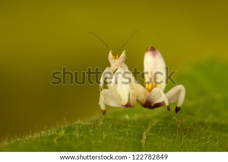 A little Orchid Mantis (Hymenopus Coronatus) looking at you
