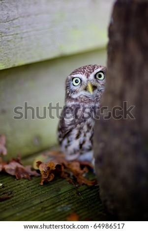 A little owl - stock photo