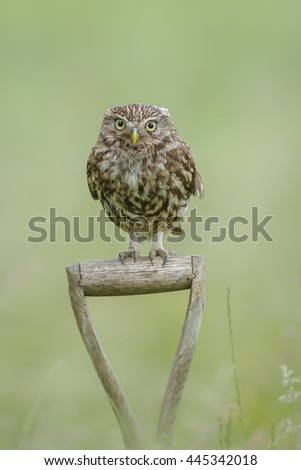 A little owl perched upon a spade handle on British farmland - stock photo