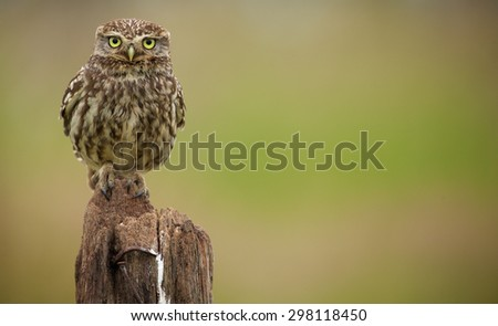 A little owl standing to attention - stock photo