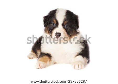 A little puppy dog, Australian Shepherd, lying with a white background