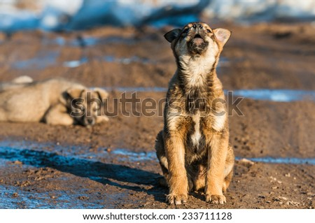 A little puppy sits and howls - stock photo