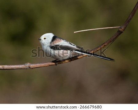 A little sweet tailed Tit on a branch