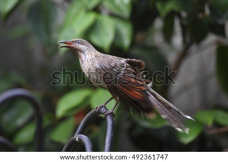 A Little Wattlebird - a kind of honeyeater.