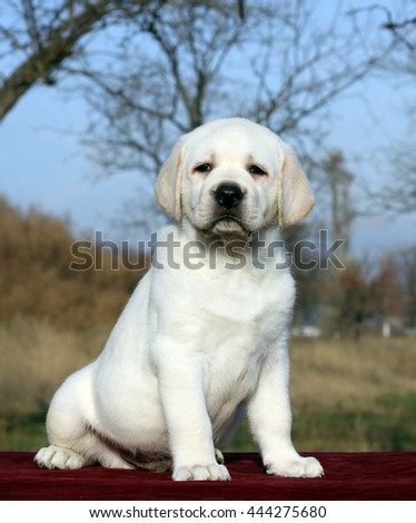 a little yellow labrador puppy sitting on red background