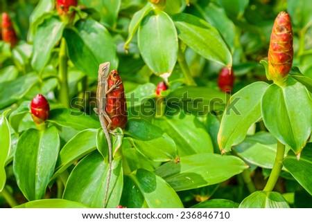 A lizard on Cheilocostus Speciosus flower in public park, Bangkok, Thailand - stock photo