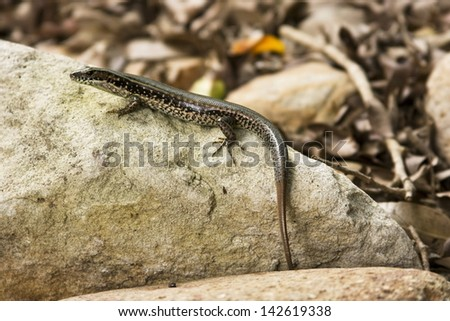 A Lizard Perched on top of a Rock - stock photo