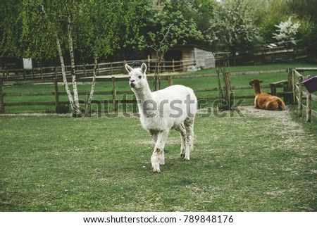 stock-photo-a-llama-with-beautiful-eyes-