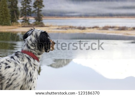 A Llewellin Setter bird dog looking out across Sparks Lake in Oregon - stock photo