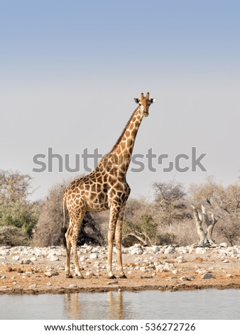 A lone Angolan / Namibian giraffe (Giraffa angolensis) at a waterhole in Etosha National Park, Namibia