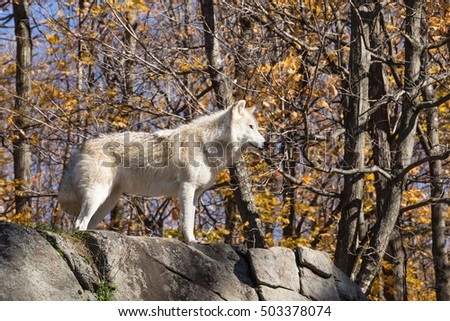 A lone Arctic Wolf in a fall forest