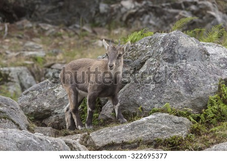 A lone baby ibex on a rocky slope
