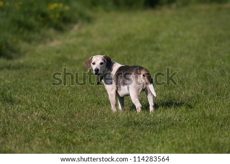A lone Beagle dog with a cute expression watching other dogs in the park outdoors. - stock photo