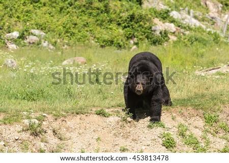 A lone big black bear in a field - stock photo