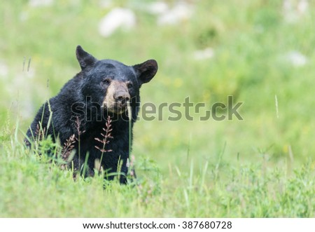 A lone Black Bear in some grass in summer - stock photo