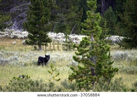 A lone black wolf in Yellowstone National Park.