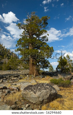 A lone bristlecone pine tree stands alone on the edge of a cliff