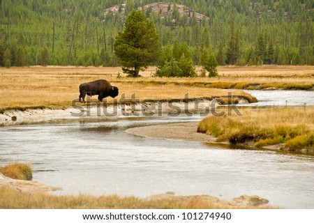 A lone buffalo grazes alongside the Gardner River in Yellowstone National Park, USA. - stock photo