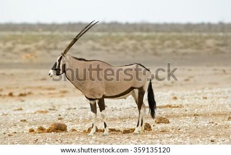 A lone Bull Gemsbok Oryx standing on the Etosha plains - stock photo