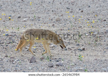 A lone coyote (Canis latrans) walks among blooming wildflowers in Death Valley National Park in California - stock photo