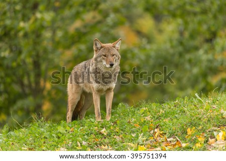 a lone coyote in tall grass - stock photo