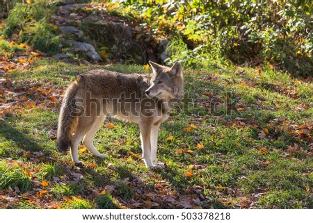 A lone coyote in the forest