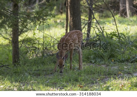 A lone deer in the woods