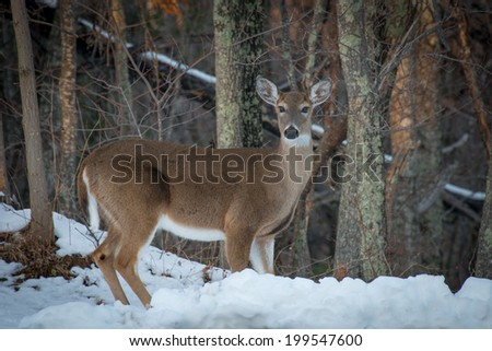 A lone Doe standing in the snow on the edge of the woods in the Great Smoky Mountains National Park - stock photo