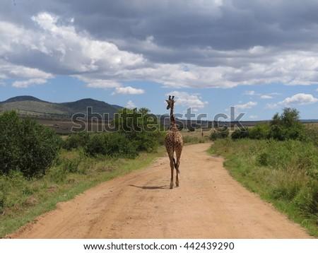 A lone giraffe wandering an desolate road in the Masai Mara of Kenya - stock photo