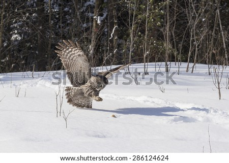 A lone Great Grey Owl - stock photo