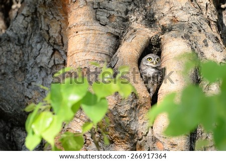 A lone in a home,Bird spotted owl. - stock photo