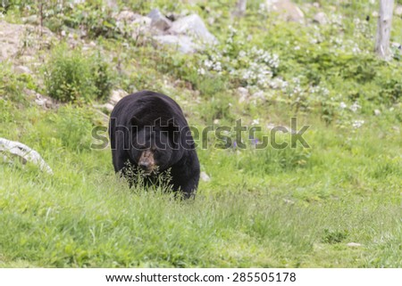 A lone, large black bear