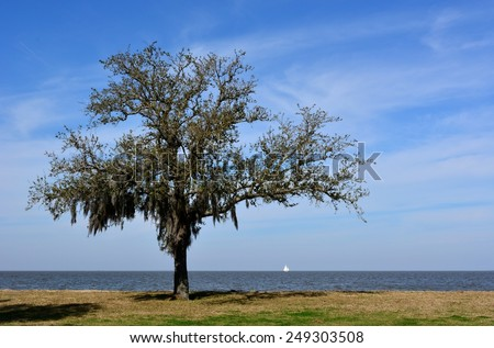 A lone Oak Tree with Spanish Moss on the shore of Lake Pontchartrain in New Orleans, Louisiana, with a sailboat in the background. - stock photo