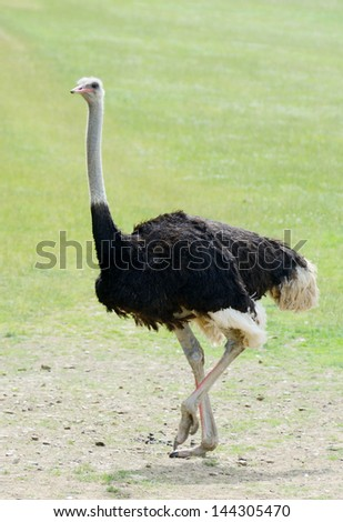 A lone ostrich walking on grassland on a sunny day - stock photo