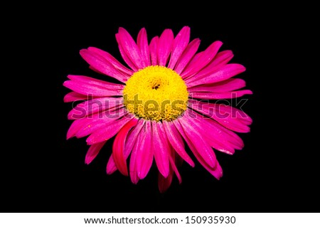 A lone painted daisy isolated on black. - stock photo