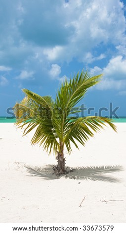 A lone palm tree on the Mexican tropical beach