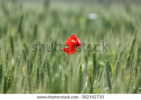A lone red poppy in a field of green wheat - stock photo