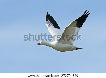 A lone Ross's goose wings through the open sky over Tule Lake in California. - stock photo