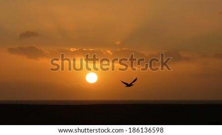 A lone seagull flys down the chesil coastline as sun sets on the Dorset Coastline. - stock photo