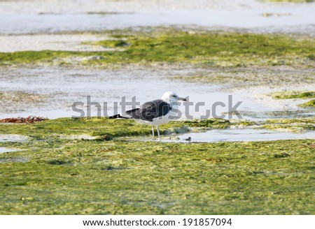 A lone seagull on the green sea weeds during low tide - stock photo