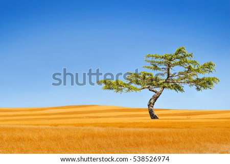 A lone tree in a dry yellow prairie with clear blue sky.