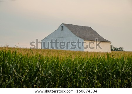 A lone white washed barn stands in a large field of amish country unpicked corn field  - stock photo